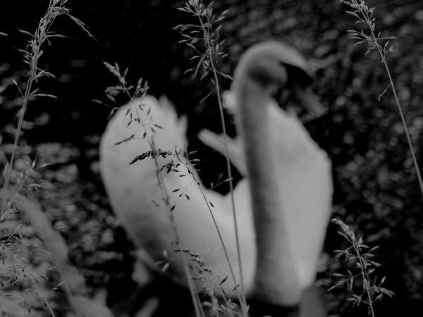 Brissy Hamégicourt - Cygne (Picardie - 02240) [2019] (Photo de Didier Desmet) [Artiste Infirme Moteur Cérébral] [Infirmité Motrice Cérébrale] [IMC] [Paralysie Cérébrale] [Cerebral Palsy] [Handicap]