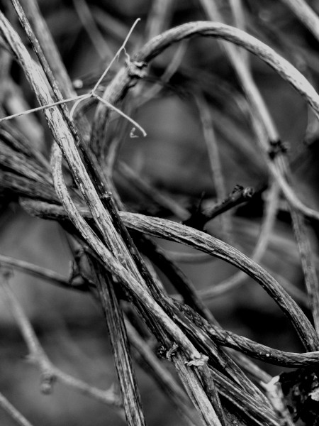 Brissy Hamégicourt - Houblons enlacés (Aisne - 02240) [2019] (Photo de Didier Desmet) Noir et blanc [Artiste Infirme Moteur Cérébral] [Infirmité Motrice Cérébrale] [IMC] [Paralysie Cérébrale] [Cerebral Palsy] [Handicap]