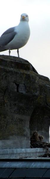 Cayeux-sur-mer - Goéland argenté et son petit (Somme - 80410) [2012] (Photo de Didier Desmet) Juin Cheminée Grisard [Artiste Infirme Moteur Cérébral] [Infirmité Motrice Cérébrale] [IMC] [Paralysie Cérébrale] [Cerebral Palsy] [Handicap]