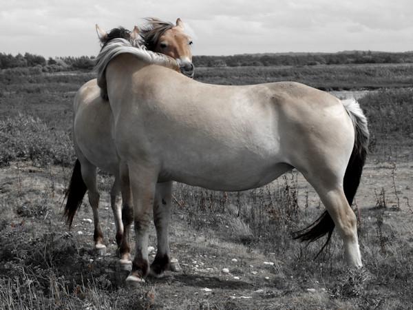 Cayeux-sur-mer - Les Hensons - ou chevaux de la baie de Somme - Hable dAult (Somme - 80410) [2016] (Photo de Didier Desmet) [Artiste Infirme Moteur Cérébral] [Infirmité Motrice Cérébrale] [IMC] [Paralysie Cérébrale] [Cerebral Palsy] [Handicap]