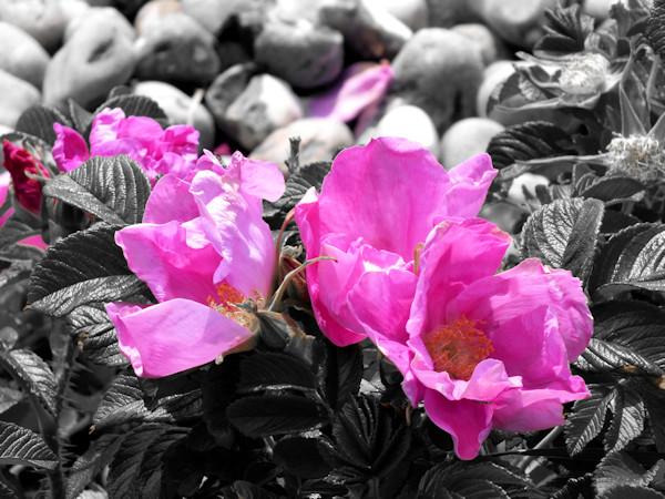 Cayeux-sur-mer - Roses sauvages (Rosa Gallica) (Somme - 80410) [2015] (Photo de Didier Desmet) [Artiste Infirme Moteur Cérébral] [Infirmité Motrice Cérébrale] [IMC] [Paralysie Cérébrale] [Cerebral Palsy] [Handicap]
