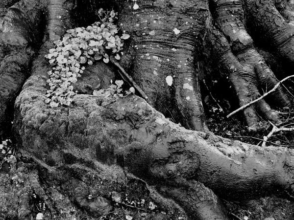 Eu - Racines - Le Guisard près du Château d`Eu (Seine-Maritime - 76260) [2016] (Photo de Didier Desmet) Noir et blanc [Artiste Infirme Moteur Cérébral] [Infirmité Motrice Cérébrale] [IMC] [Paralysie Cérébrale] [Cerebral Palsy] [Handicap]