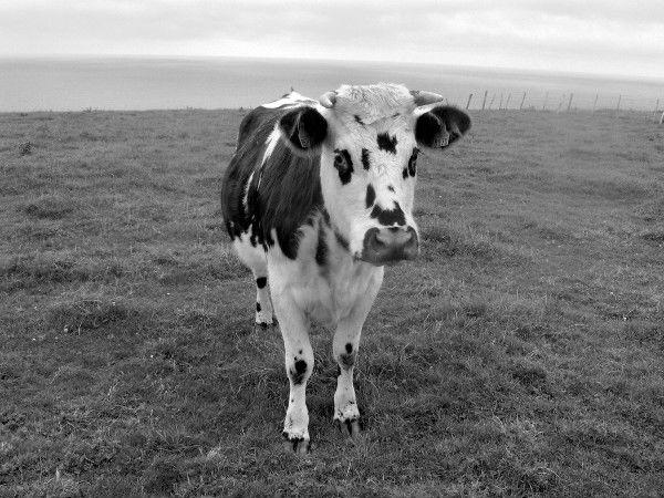 Les champs des falaises d`Ault - La vache (Somme - 80460) [2005] (Photo de Didier Desmet) Noir et blanc [Artiste Infirme Moteur Cérébral] [Infirmité Motrice Cérébrale] [IMC] [Paralysie Cérébrale] [Cerebral Palsy] [Handicap]