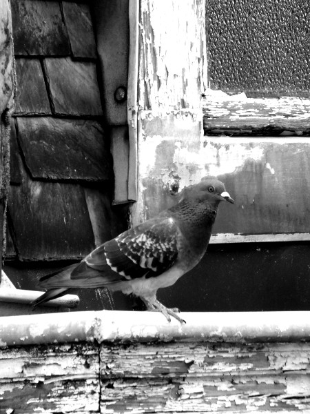 Lille - Le pigeon [2012] (Photo de Didier Desmet) [Artiste Infirme Moteur Cérébral] [Infirmité Motrice Cérébrale] [IMC] [Paralysie Cérébrale] [Cerebral Palsy] [Handicap]