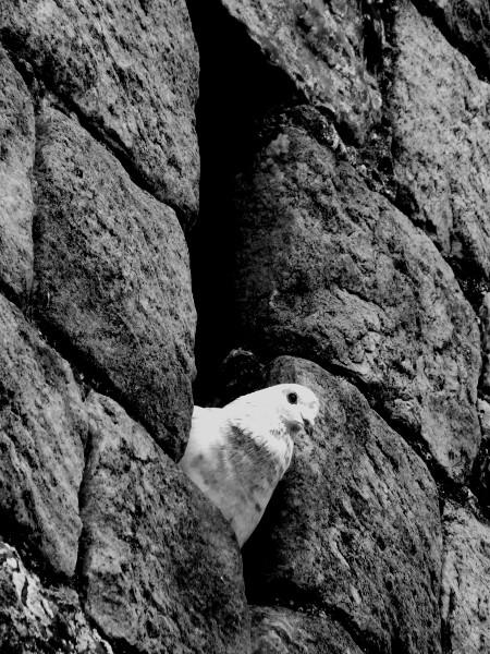 Saint-Valery-sur-Somme - Le pigeon - Eglise Saint-Martin (Somme - 80230) [2016] (Photo de Didier Desmet) Noir et blanc [Artiste Infirme Moteur Cérébral] [Infirmité Motrice Cérébrale] [IMC] [Paralysie Cérébrale] [Cerebral Palsy] [Handicap]