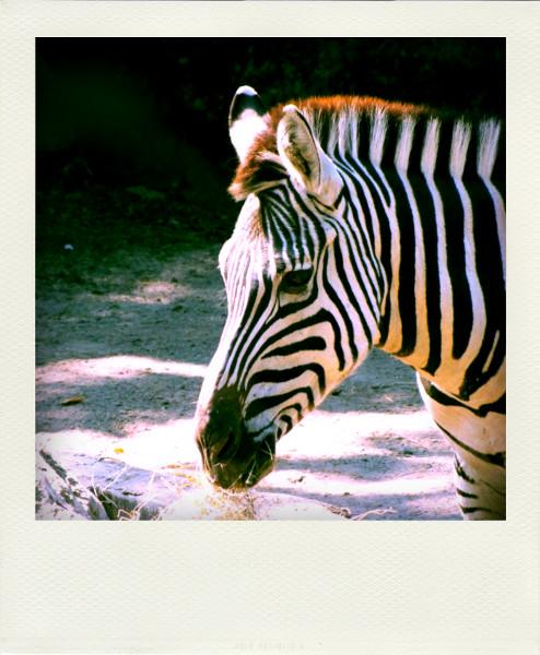 Zoo de Lille - Le zèbre [2012] (Photo de Didier Desmet) Pola [Artiste Infirme Moteur Cérébral] [Infirmité Motrice Cérébrale] [IMC] [Paralysie Cérébrale] [Cerebral Palsy] [Handicap]