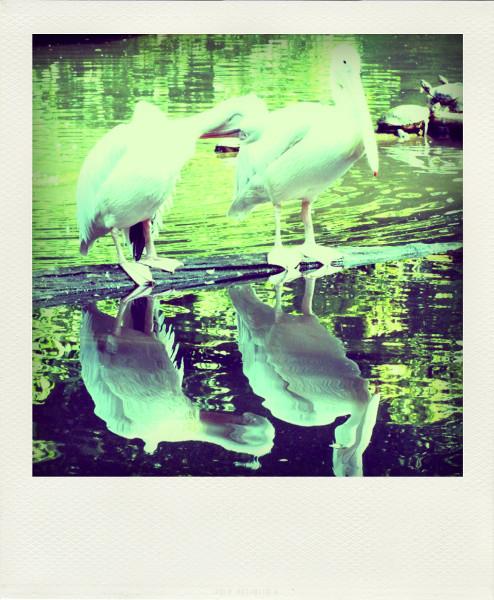 Zoo de Lille - Les pélicans [2012] (Photo de Didier Desmet) Pola [Artiste Infirme Moteur Cérébral] [Infirmité Motrice Cérébrale] [IMC] [Paralysie Cérébrale] [Cerebral Palsy] [Handicap]